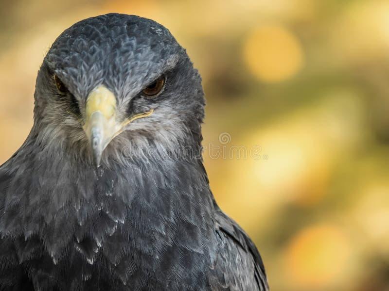Retrato de uma águia chested preta do busardo imagens de stock