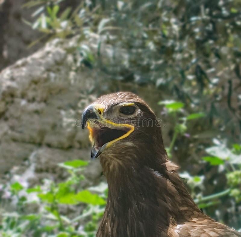 Retrato de uma águia do estepe imagens de stock royalty free