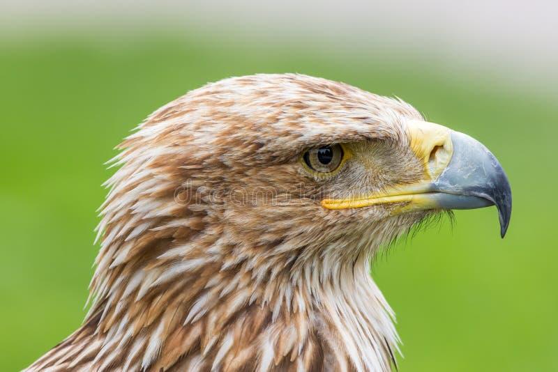 Retrato de uma águia imperial oriental imagens de stock