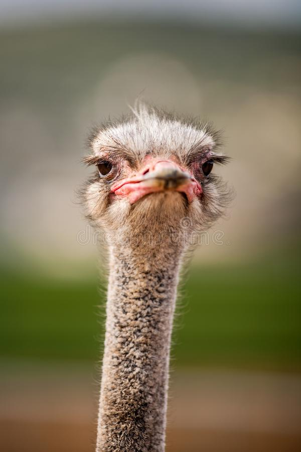 Retrato de uma avestruz, fim acima fotos de stock royalty free