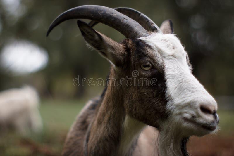 Retrato de uma cabra fotografia de stock royalty free