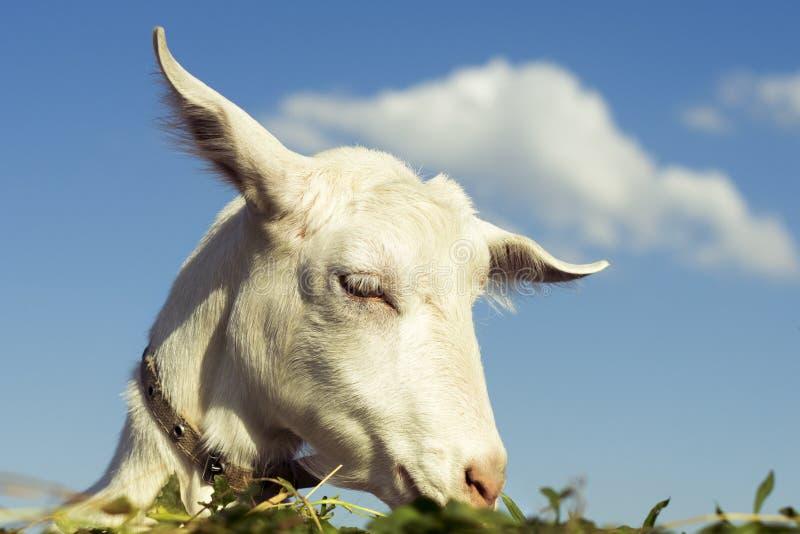 Retrato de uma cabra engraçada que olha a uma câmera sobre o céu azul e o fundo das nuvens A cabra branca come a grama verde fotos de stock royalty free