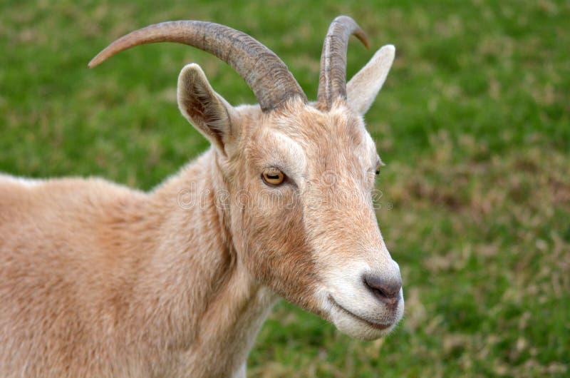 Retrato de uma cabra masculina foto de stock