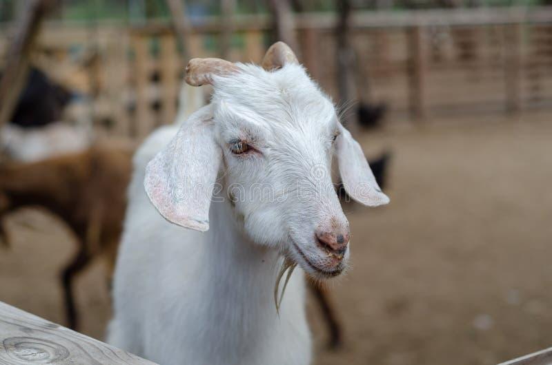 Retrato de uma cabra masculina em uma exploração agrícola fotografia de stock royalty free