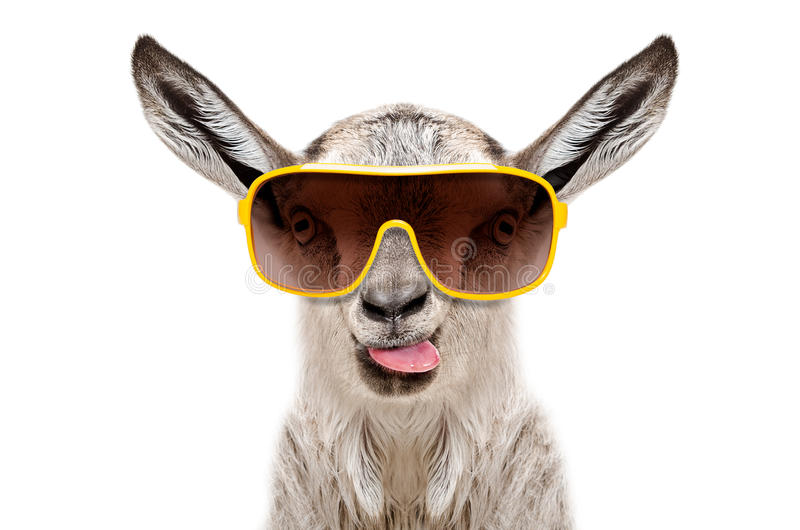 Retrato de uma cabra nos óculos de sol que mostram a língua fotos de stock royalty free
