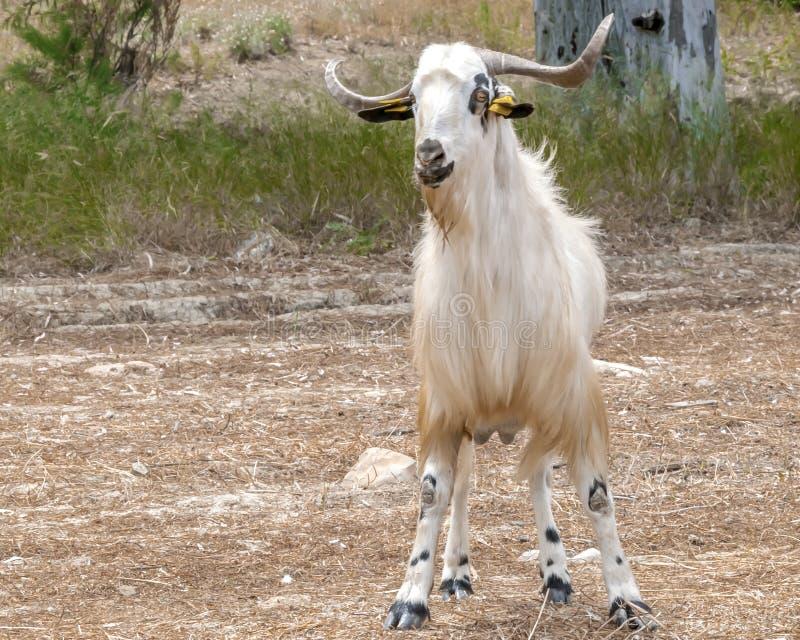Retrato de uma cabra nova que pasta em um pasto opini?o de parte anterior imagem de stock royalty free