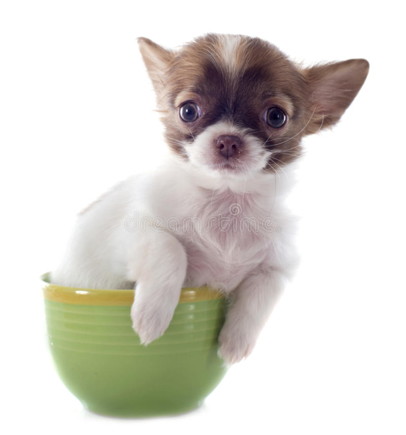 Chihuahua do filhote de cachorro em um copo fotos de stock royalty free