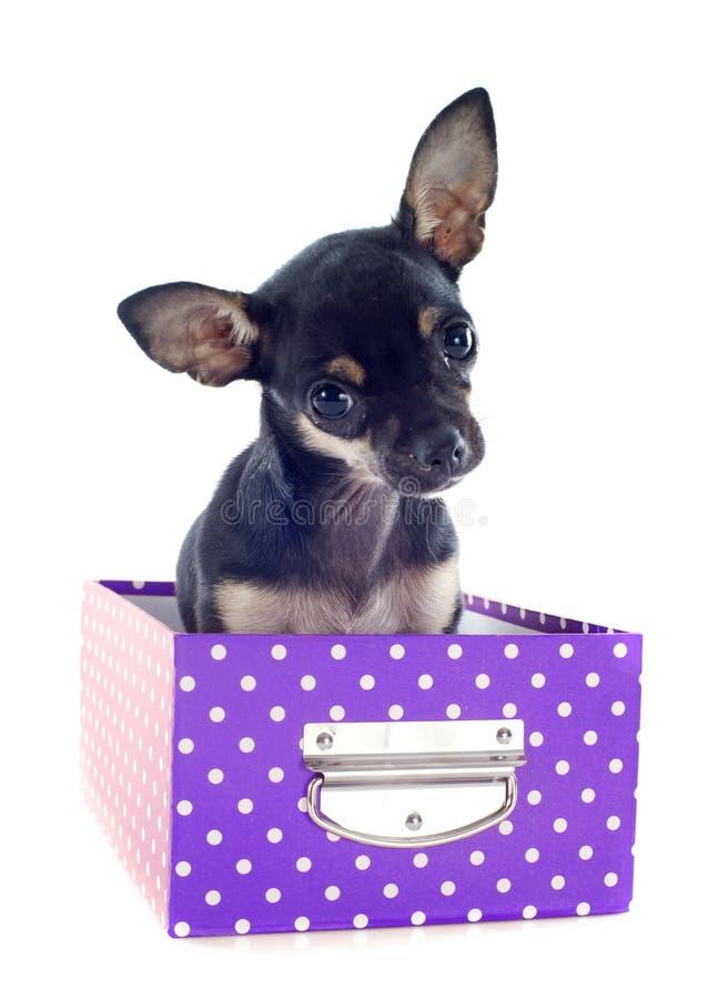 Chihuahua na caixa fotografia de stock