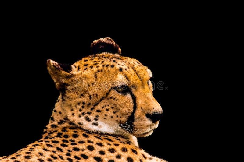 Retrato de uma chita isolada no preto fotografia de stock royalty free