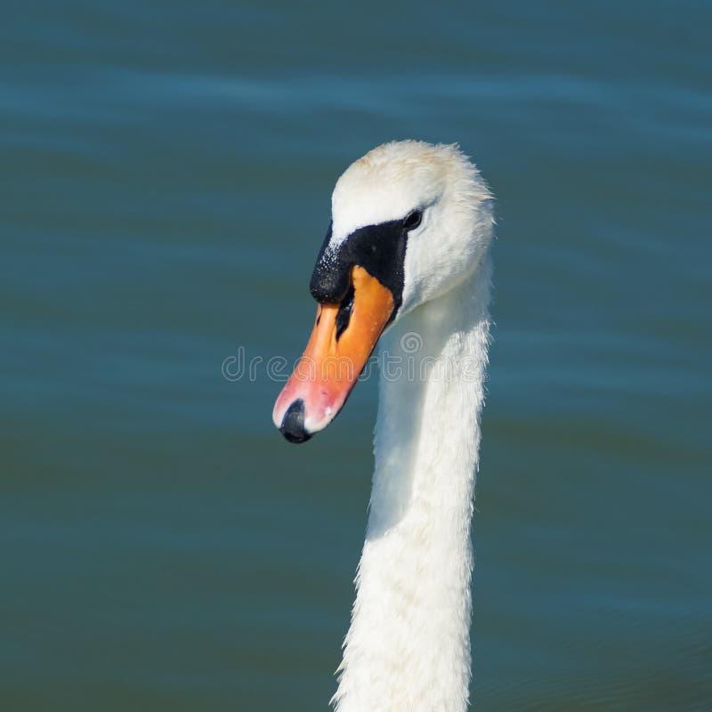 Retrato de uma cisne foto de stock
