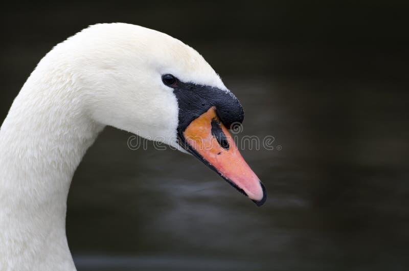Retrato de uma cisne fotos de stock royalty free