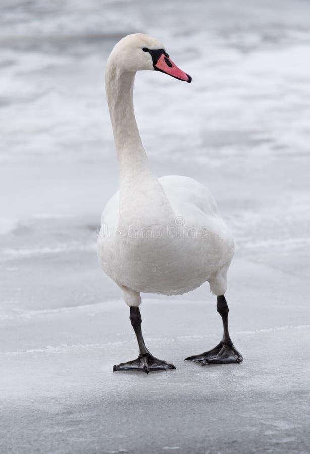 Retrato de uma cisne muda que está na cena do inverno do gelo foto de stock royalty free