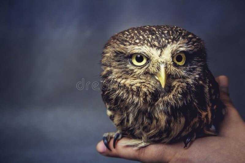 Retrato de uma coruja domesticada no braço fotos de stock