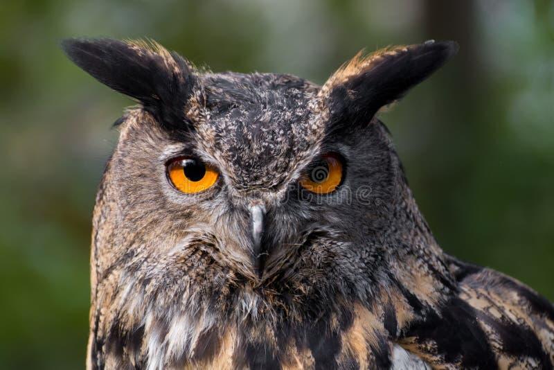 retrato de uma Eagle-coruja imagens de stock royalty free