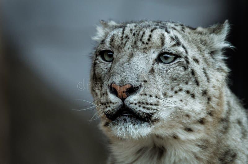 Retrato de uma elevação de assento selvagem do leopardo de neve fotografia de stock royalty free