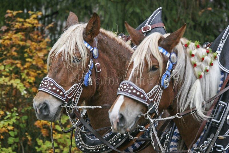 Retrato de uma equipe do cavalo fotos de stock royalty free