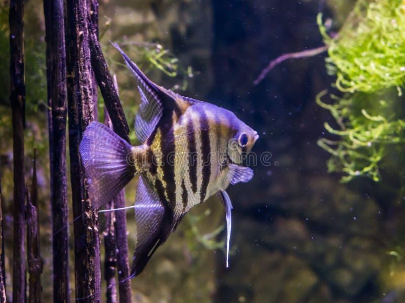 Retrato de uma esquatina de água doce, animal de estimação muito popular do aquário, peixe exótico da bacia de amazon fotos de stock