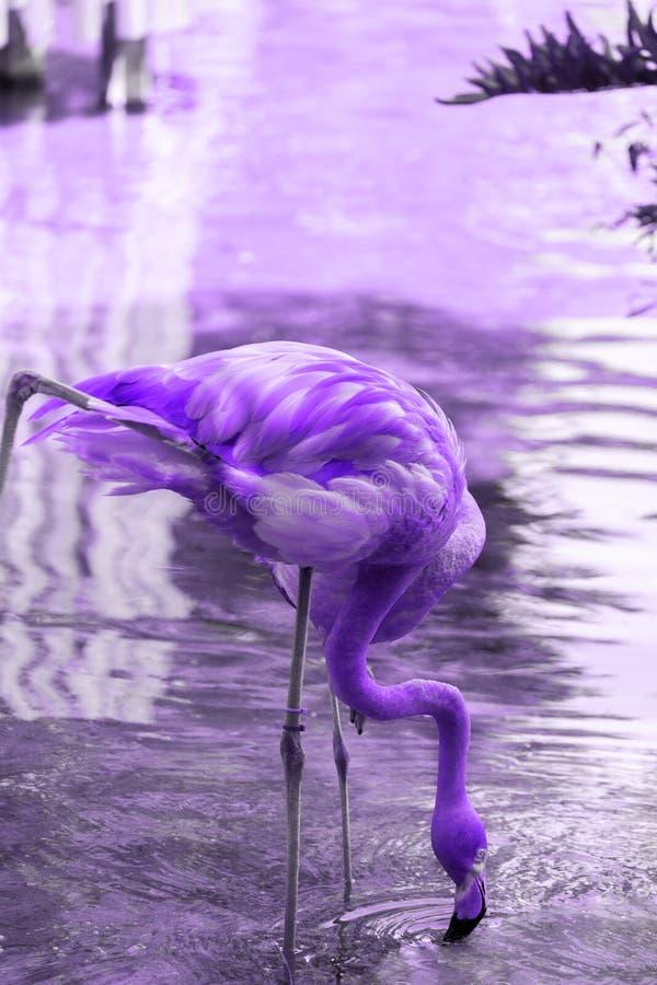 Retrato de uma ?gua pot?vel do flamingo da lagoa fotos de stock royalty free
