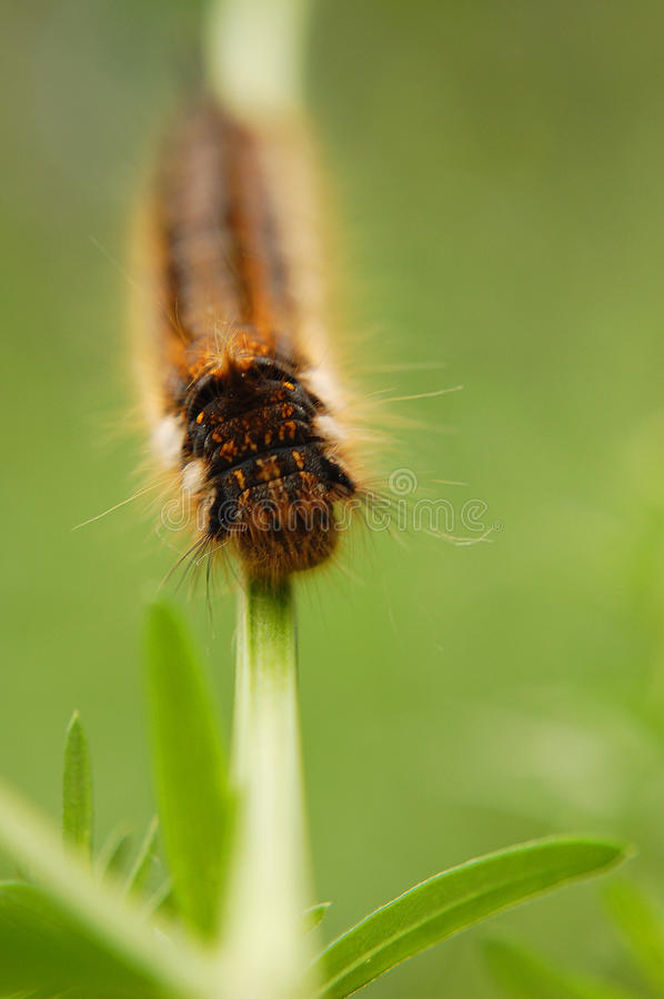 Retrato de uma lagarta fotografia de stock