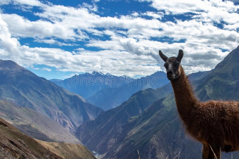 Retrato de uma Lama marrom nas montanhas de Andes, Peru fotografia de stock
