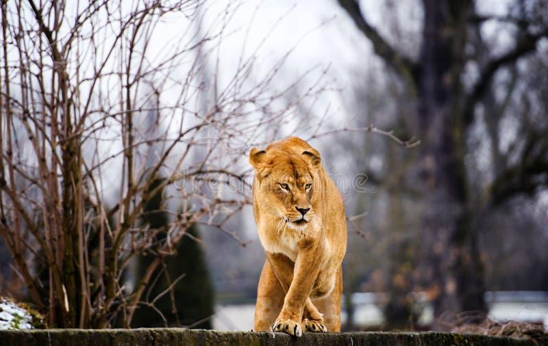 Retrato de uma leoa fotos de stock