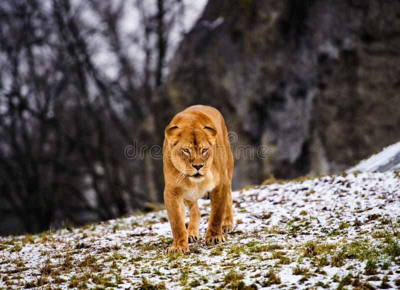 Retrato de uma leoa fotografia de stock