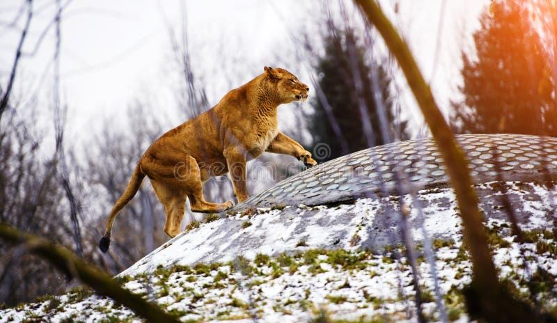 Retrato de uma leoa imagem de stock