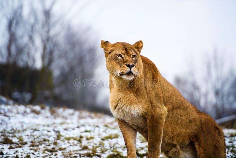 Retrato de uma leoa imagens de stock