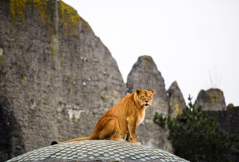 Retrato de uma leoa fotografia de stock royalty free