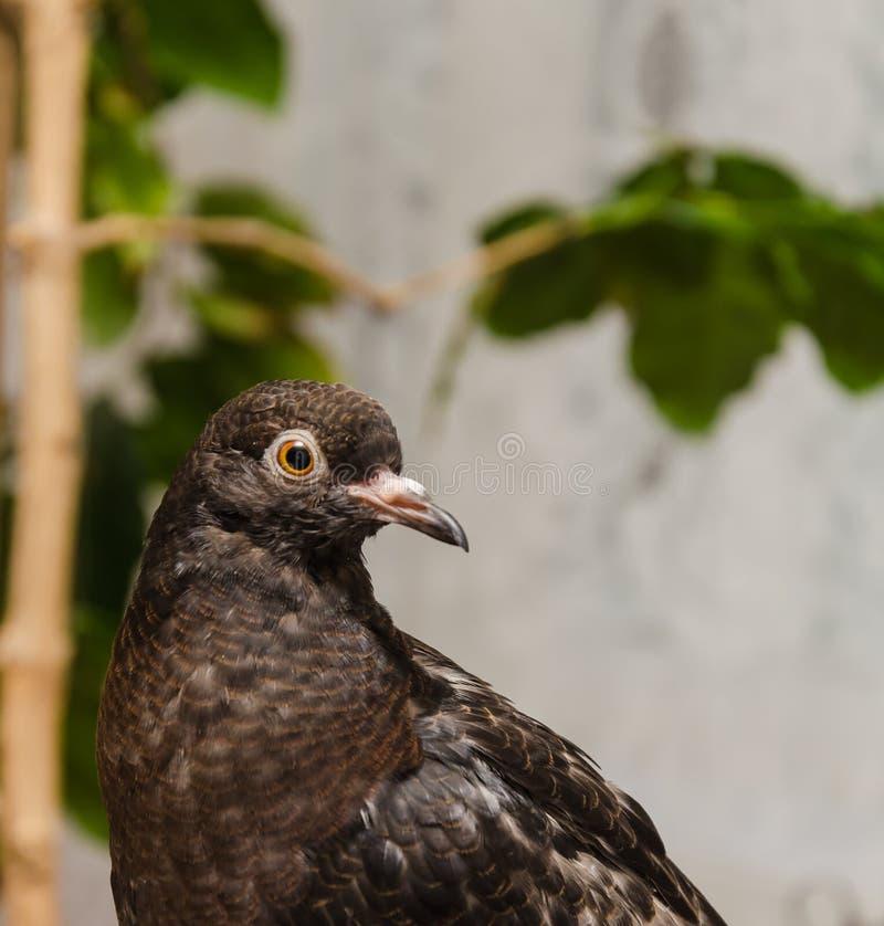 Retrato de uma pomba em um fundo borrado dentro fotografia de stock