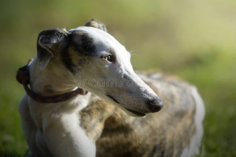 Retrato de uma posição do galgo na grama em um prado fotografia de stock royalty free