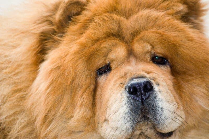 Retrato de uma raça Chow Chow do cão fotografia de stock
