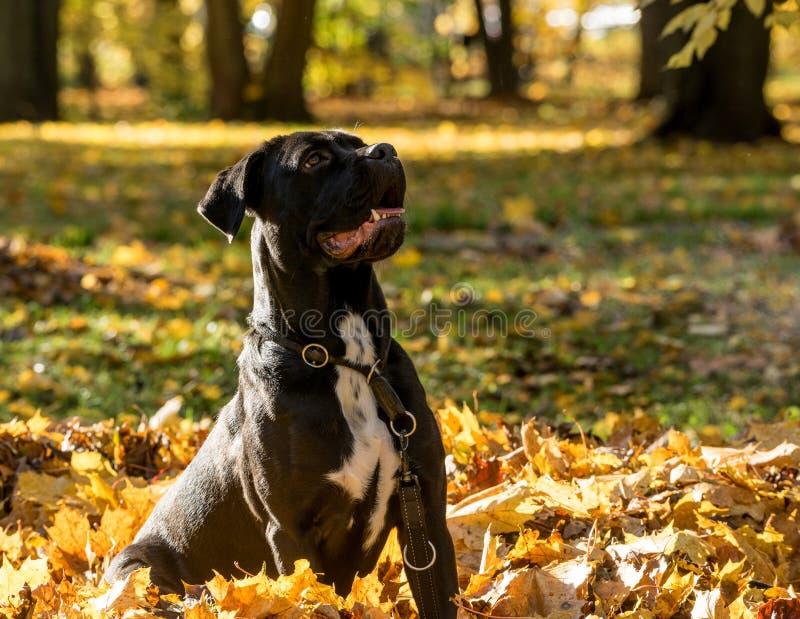 Retrato de uma raça do cão de Cane Corso em um fundo da natureza Cão que joga na grama com as folhas coloridas no outono Mastiff  imagens de stock royalty free