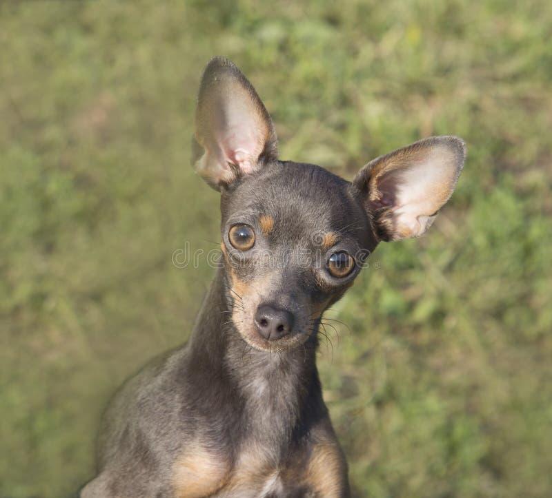 Retrato de uma raça do cão que Terrier no fundo de um gramado verde imagens de stock
