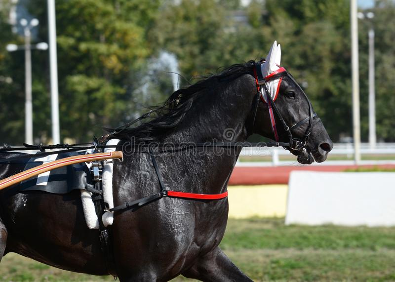 Retrato de uma raça preta do trotador do cavalo no movimento no hipódromo fotografia de stock