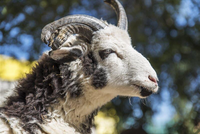Retrato de uma ram com chifres fotografia de stock