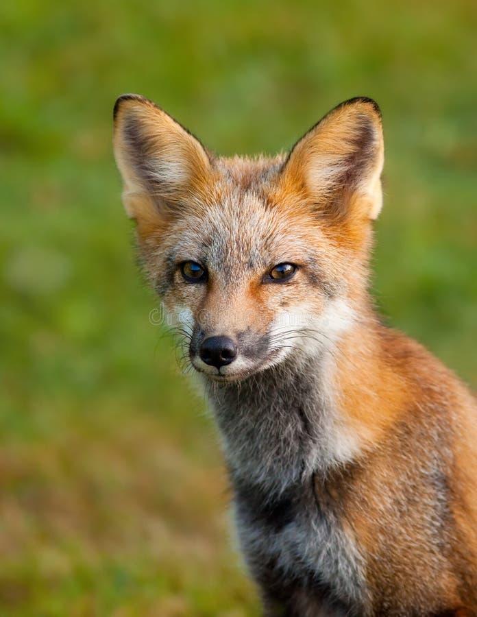 Retrato de uma raposa vermelha nova fotos de stock royalty free