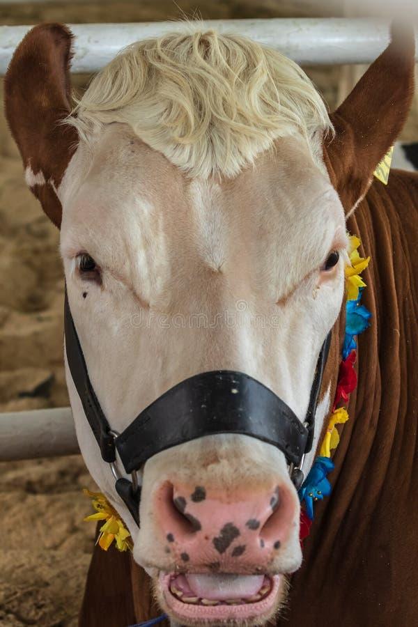 Retrato de uma vaca tribal com uma cabeça branca e um corpo marrom, que esteja olhando a câmera imagem de stock