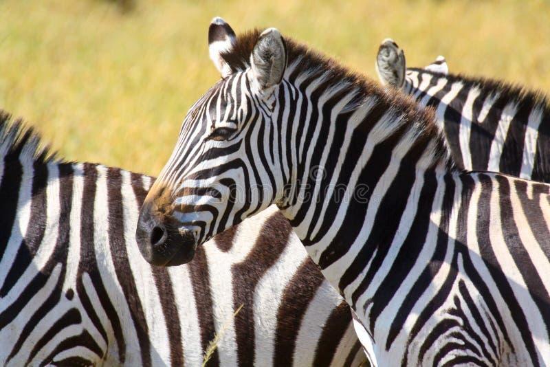 Retrato de uma zebra das planícies fotos de stock