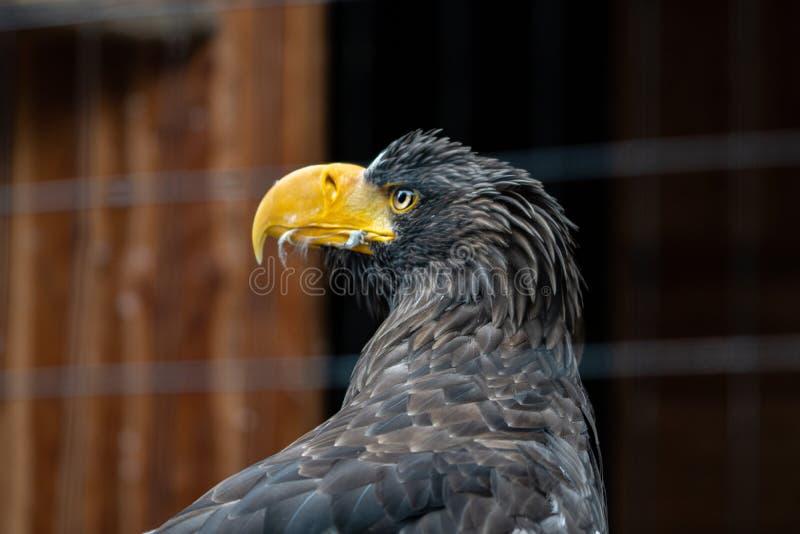 Retrato de un águila fotos de archivo libres de regalías