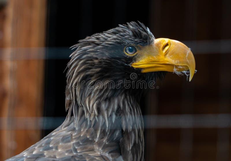 Retrato de un águila fotos de archivo