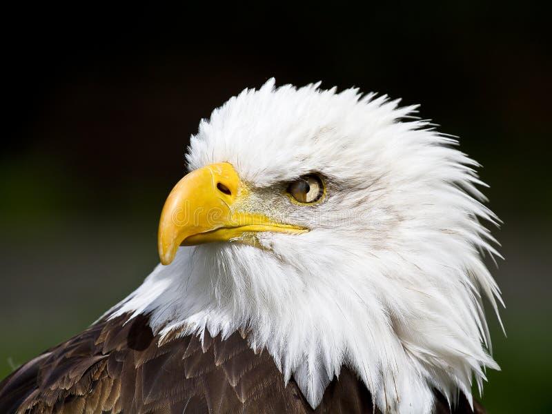 Retrato de un águila calva americana fotografía de archivo libre de regalías
