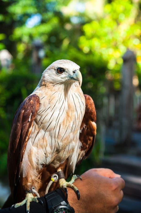 Retrato de un águila calva en la mano foto de archivo