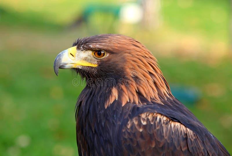 Retrato de un águila de oro imagen de archivo