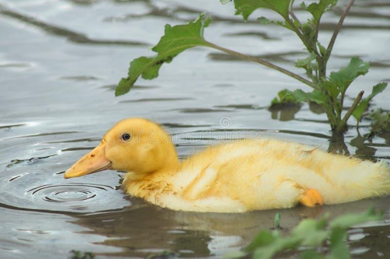 Retrato de un anadón amarillo joven, nadando en el agua del lago Duck en una charca y círculos de un descenso en el agua fotos de archivo libres de regalías