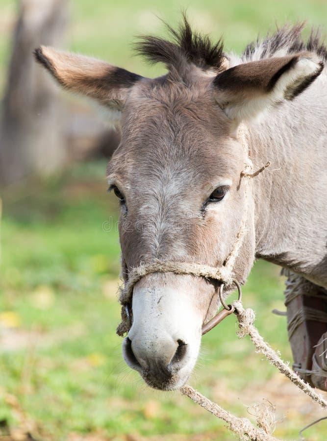 Retrato de un burro imágenes de archivo libres de regalías