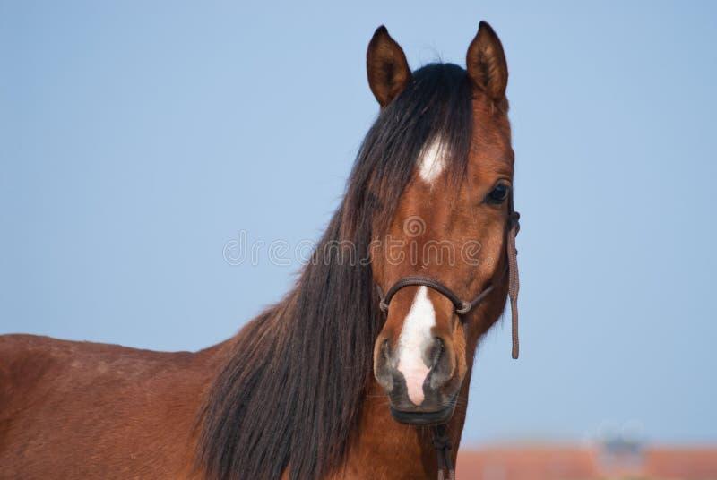 Retrato de un caballo árabe foto de archivo