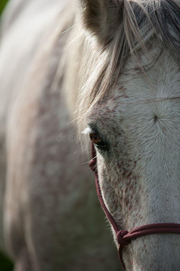 Retrato de un caballo árabe imagen de archivo libre de regalías