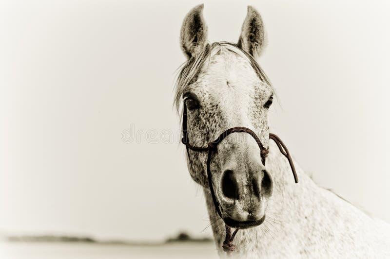 Retrato de un caballo árabe fotografía de archivo