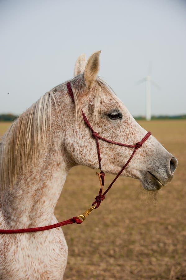 Retrato de un caballo árabe fotos de archivo